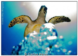 Bubbles flying to Heaven.. A big turtle that dive with me... by Carlos Pérez